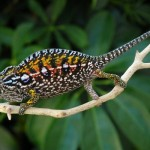 carpet chameleon for sale, carpet chameleons for sale, buy carpet chameleon, carpet chameleon breeder, carpet chameleon photo, carpet chameleon image, carpet chameleon pics, carpet chameleon habitat, carpet chameleon care, baby carpet chameleons for sale