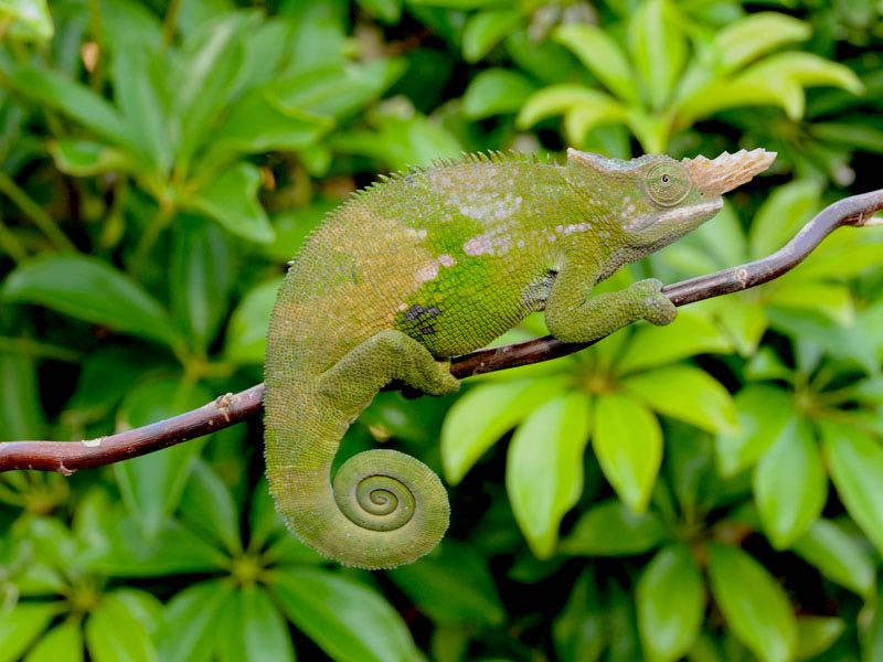 West usambara two horned fischers chameleon kinyongia chameleon for sale chameleons for sale buy chameleon chameleon breeder chameleon photo thecheapjerseys Choice Image