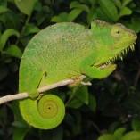 female four horned chameleon for sale, chameleons for sale, buy chameleon, chameleon breeder, chameleon photo, chameleon image, chameleon pics, chameleon habitat, chameleon care, baby chameleons for sale