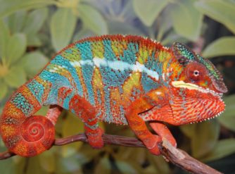 ambilobe panther chameleon image, ambilobe panther chameleons for sale, buy ambilobe panther chameleons, ambilobe panther chameleon breeders, panther chameleon for sale, panther chameleon for sale, buy panther chameleon, panther chameleon breeder, panther chameleon photo, panther chameleon image, panther chameleon pics, Panther chameleon habitat, panther chameleon care, baby panther chameleons for sale
