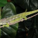 verrucosus chameleon for sale, chameleons for sale, buy chameleon, chameleon breeder, chameleon photo, chameleon image, chameleon pics, chameleon habitat, chameleon care, baby chameleons for sale