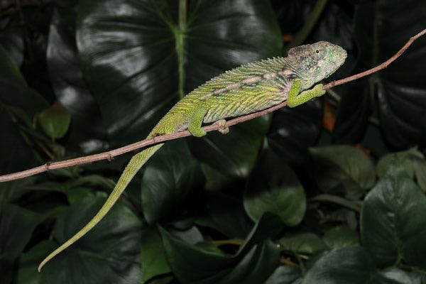 Madagascar giant spiny chameleon furcifer verrucosus fl chams spiny chameleon for sale chameleons for sale buy chameleon chameleon breeder chameleon thecheapjerseys Choice Image