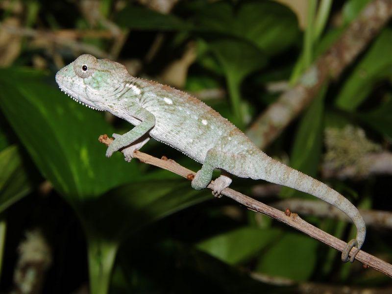 Oustalets chameleon cb babies fl chams chameleon for sale chameleons for sale buy chameleon chameleon breeder chameleon photo thecheapjerseys Images