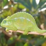rudis chameleon for sale, chameleons for sale, buy chameleon, chameleon breeder, chameleon photo, chameleon image, chameleon pics, chameleon habitat, chameleon care, baby chameleons for sale