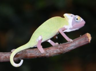 high translucent veiled chameleon image, translucent veiled chameleons for sale, translucent veiled chameleon breeder, buy translucent veiled chameleons