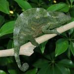 chameleon for sale, chameleons for sale, buy chameleon, chameleon breeder, chameleon photo, chameleon image, chameleon pics, chameleon habitat, chameleon care, baby chameleons for sale