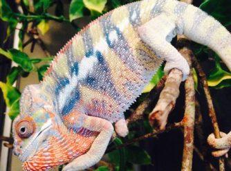 ambilobe panther chameleon image, ambilobe panther chameleon picture, ambilobe panther chameleon for sale, buy ambilobe panther chameleons