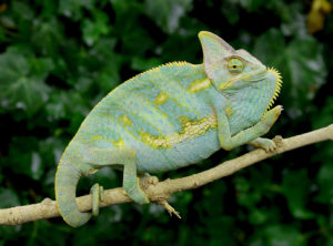 blue veiled chameleon image, veiled chameleons for sale, buy veiled chameleons