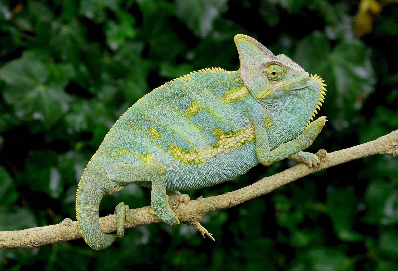 Adult chameleon sale