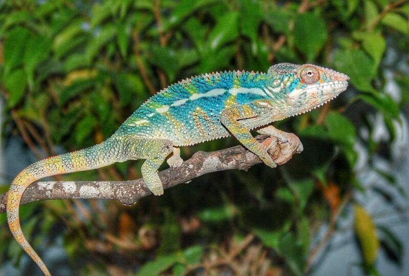 juvenile holdback male ambilobe panther chameleon for sale 3 buy