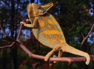 veiled chameleons for sale, baby orange veiled chameleons, buy baby veiled chameleons
