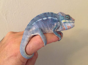 blue nosy be panther chameleon for sale, blue panther chameleon, buy panther chameleons online, nosy be , panther chameleons for sale