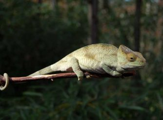 Parsons Chameleon For Sale, Buy Parsons Chameleons, chameleon for sale, chameleons for sale, buy chameleon, chameleon breeder, chameleon photo, chameleon image, chameleon pics, chameleon habitat, chameleon care, baby chameleons for sale