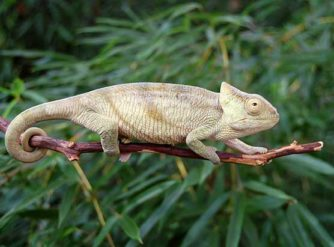 Parsons chameleon for sale buy parsons chameleon