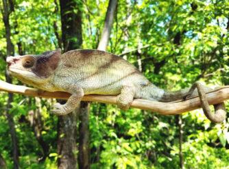 Parsons chameleon for sale