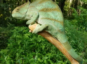 Parson's Chameleon For Sale Sub Adult Female Holdback