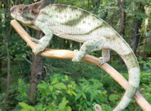 Parson's Chameleon For Sale Sub Adult Male Holdback