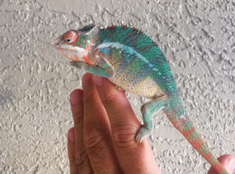 panther chameleons for sale, buy Panther chameleons, panther chameleon pets, panther chameleon pictures