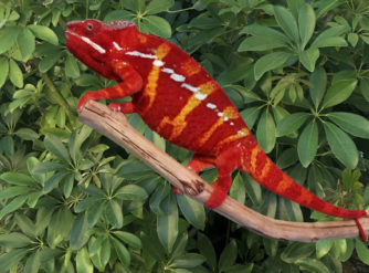 panther chameleons for sale, buy panther chameleons, chameleons for sale, chameleon for sale
