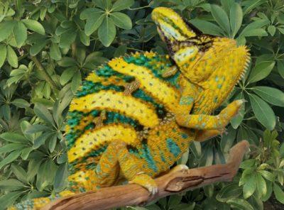 veiled chameleons for sale, buy veiled chameleons, veiled chameleon breeder, veiled chameleon pets