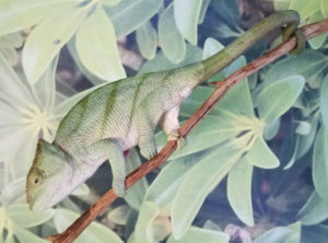 chameleons for sale, parsons chameleons for sale, buy chameleons