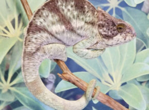 chameleons for sale, buy chameleons, yellow giant Parsons chameleon