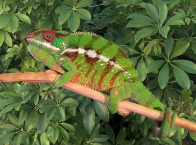 Iharana Panther Chameleon, chameleon for sale, panther chameleons for sale