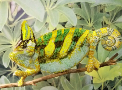 veiled chameleon for sale