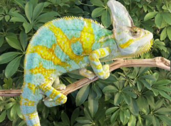 veiled chameleons for sale