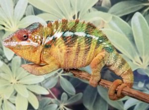 chameleon for sale, buy chameleons, panther chameleons for sale