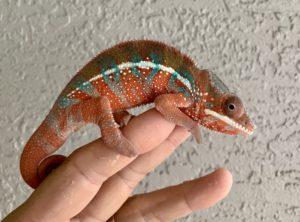 chameleon for sale, chameleons for sale, panther chameleons